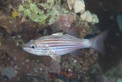 BD-150227-Gubal-Strait-7310-Cheilodipterus-macrodon-(Lacepède.-1802)-[Largetoothed-cardinalfish].jpg